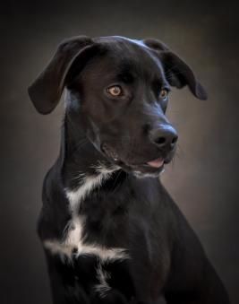 Lab Mix Puppy Dog Pet Photography Portrait