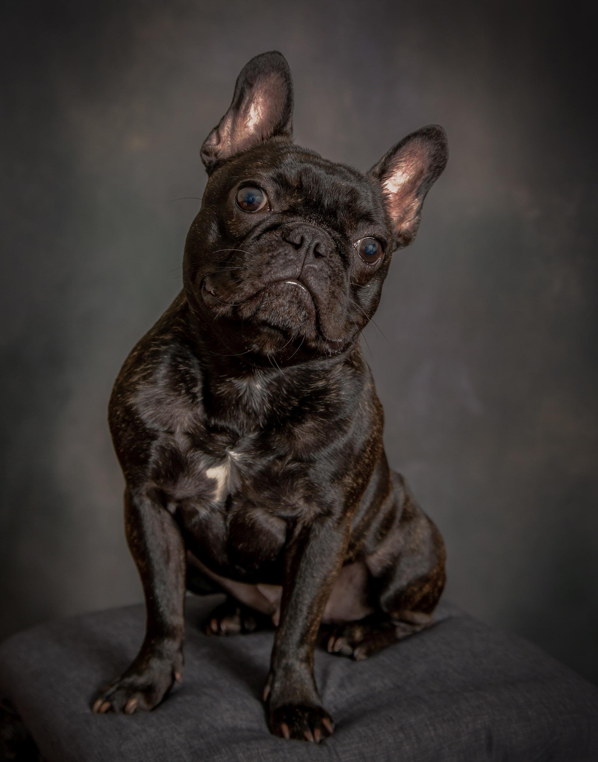 Frenchie Dog Pet Photography Portrait