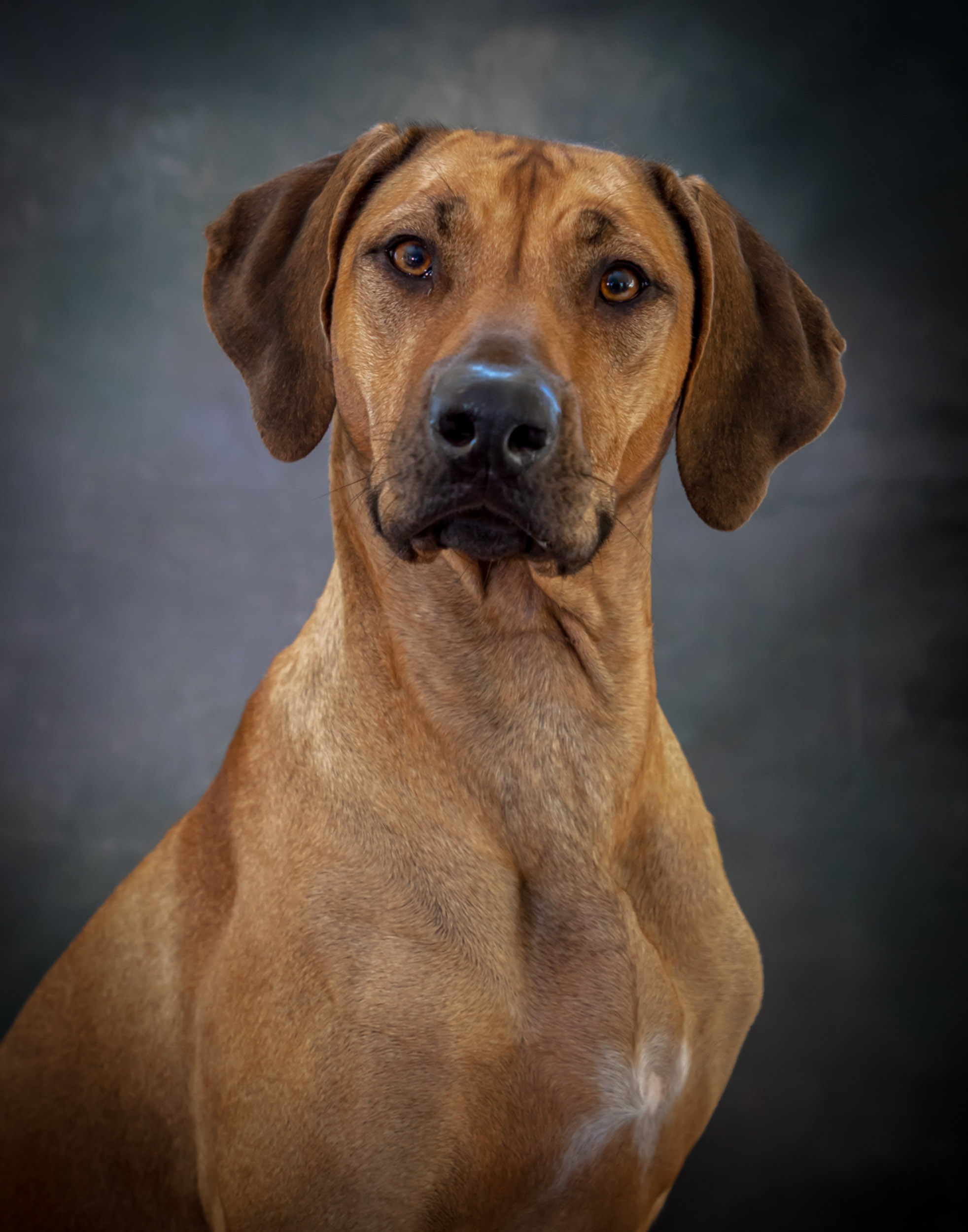 Rhodesian Ridgeback Dog Pet Photography Portrait