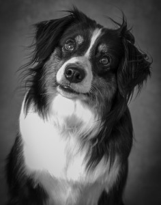 Autralian Shepard Dog Pet Photography Portrait