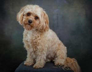 Cavapoo Dog Pet Photography Portrait