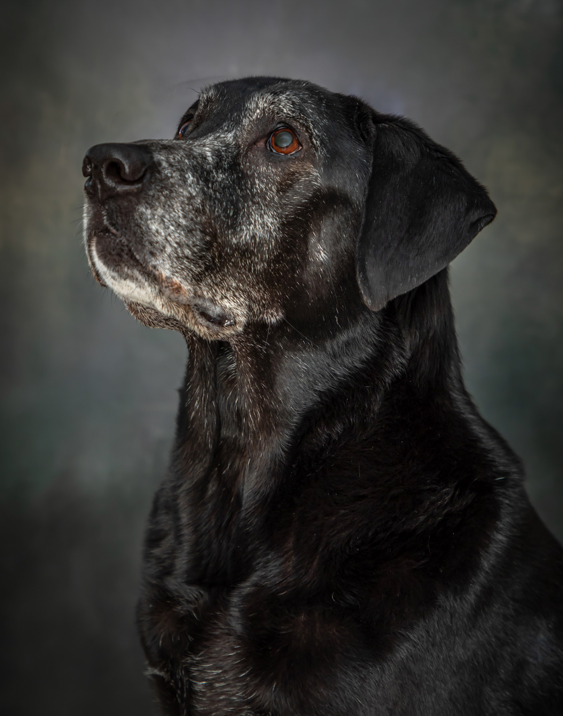 Black Lab Senior Dog Pet Photography Portrait