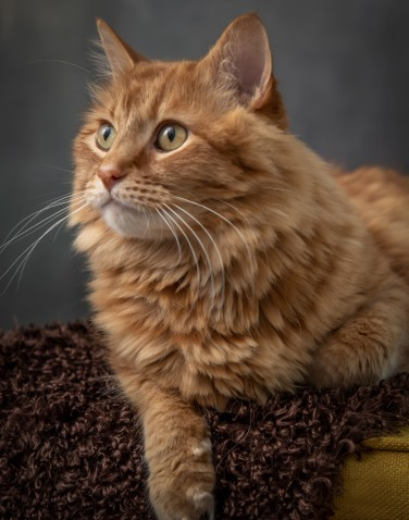 Long haired Kitty Cat Pet Photography Portrait