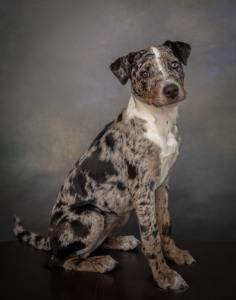 Cataloula Leopard Puppy Dog Pet Photography Portrait