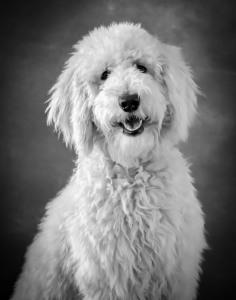 Golden Doodle Puppy Dog Pet Photography Portrait