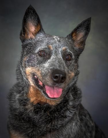 Cattledog Senior Dog Pet Photography Portrait