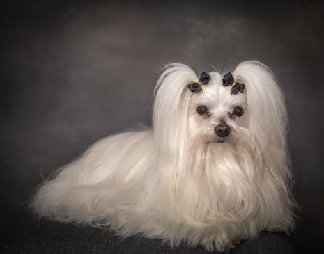 Maltese Senior Dog Pet Photography Portrait