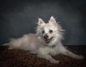 Miniture Eskimo Spitz Senior Dog Pet Photography Portrait