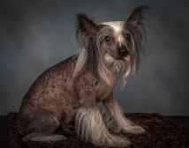 Hairless CHinese Crested Senior Dog Pet Photography Portrait