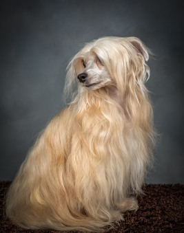 Silky Chinese Crested Dog Pet Photography Portrait