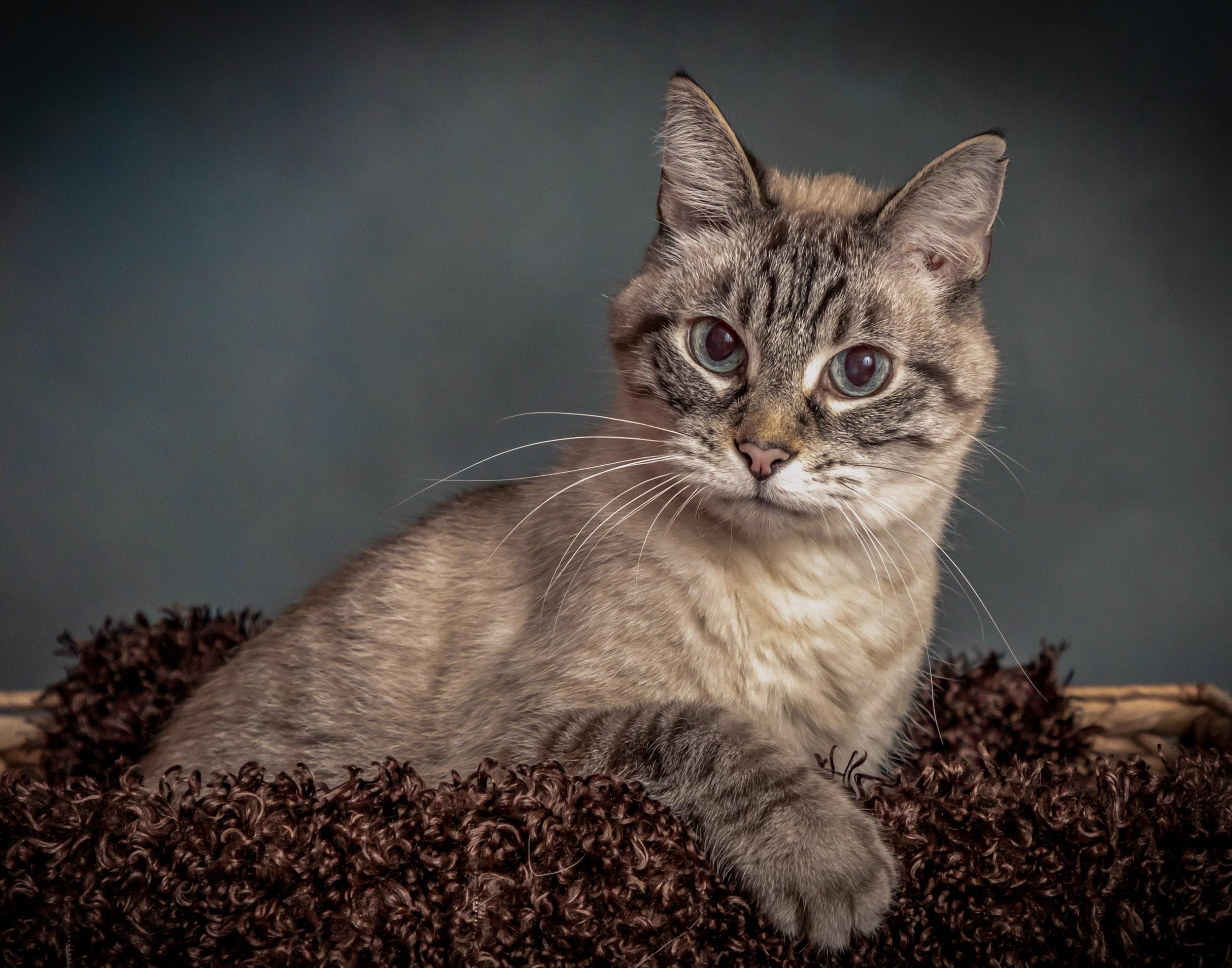 Kitty Cat Pet Photography Portrait