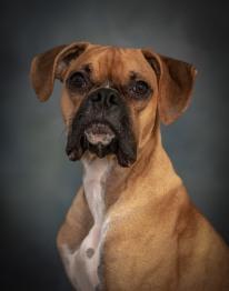 Boxer Puppy Dog Pet Photography Portrait