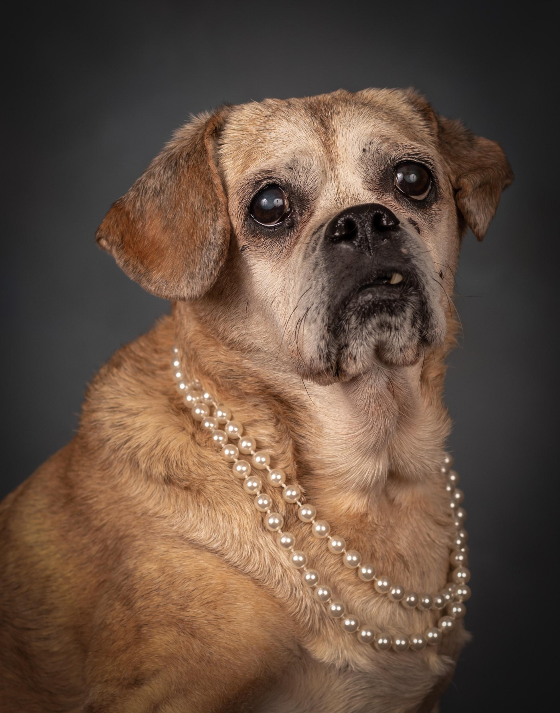 Pug Senior Dog Pet Photography Portrait