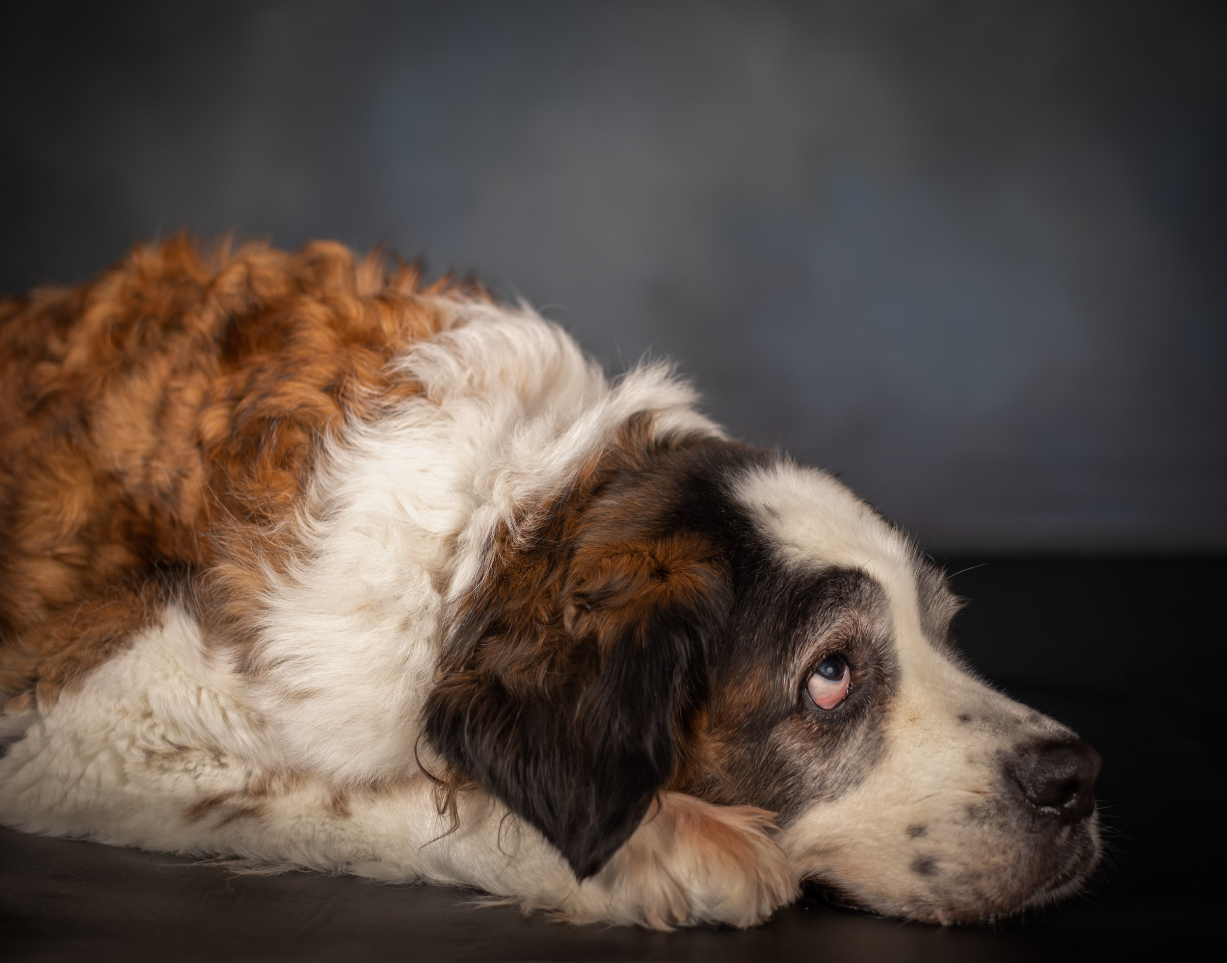 Saint Bernard Senior Dog Pet Photography Portrait