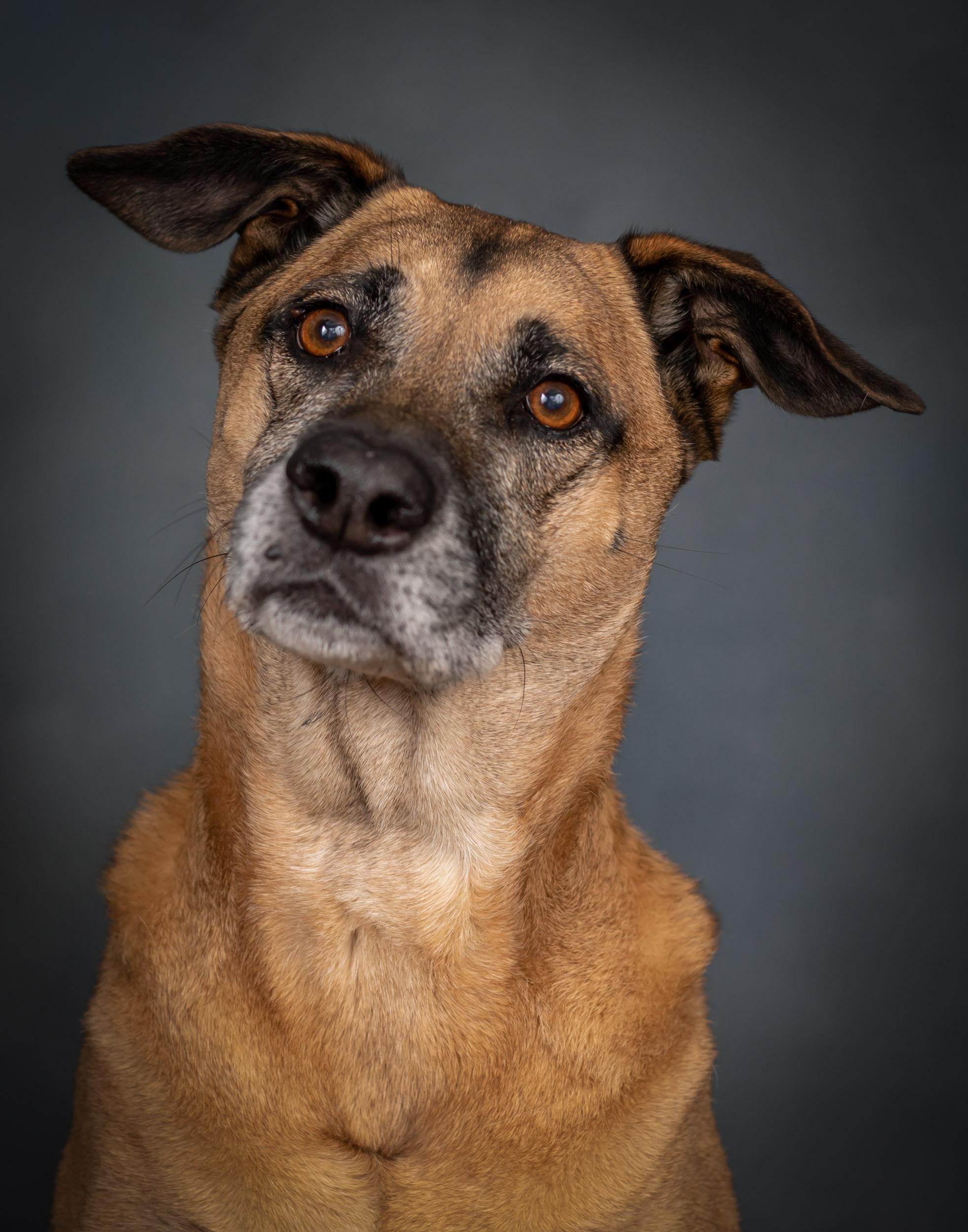 Lab Mix Dog Pet Photography Portrait