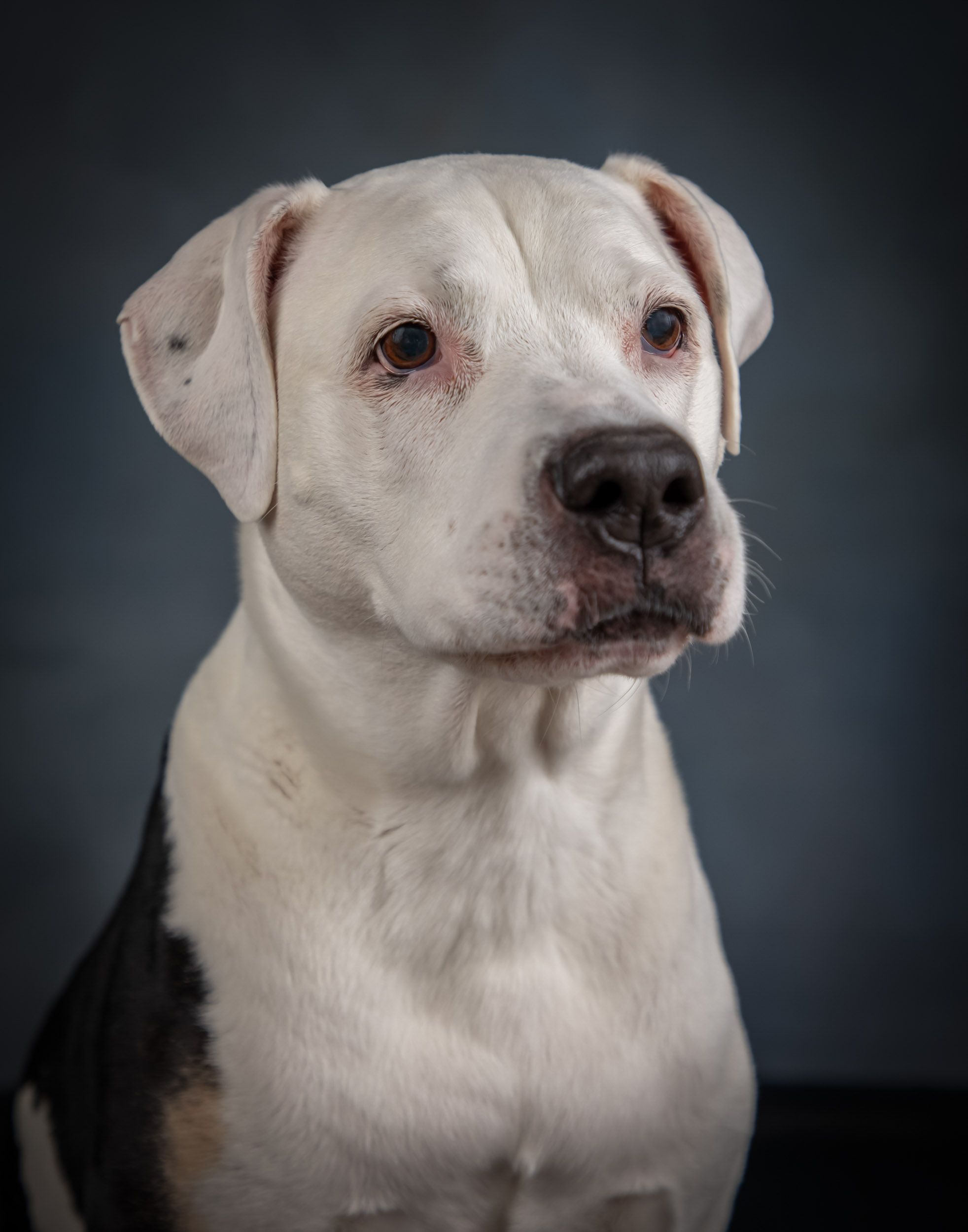 Staffordshire Bull Terrier Senior Dog Pet Photography Portrait