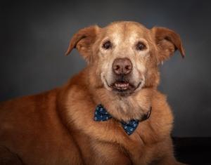 Yellow Lab Mix Senior Dog Pet Photography Portrait