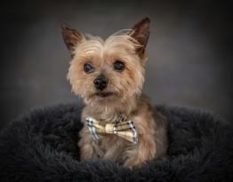 Yorkie Senior Dog Pet Photography Portrait