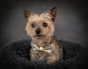 Yorkie Senior Dog Pet Photography Portrait